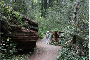 SL California Redwood 2