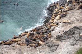 SL Sea Lions