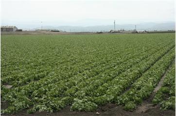 California Lettuce